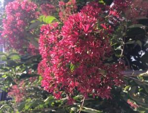 고급꽃나무 칠자화