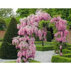 혼베니(등나무)