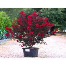 배롱나무(백일홍) 자엽다이나마이트