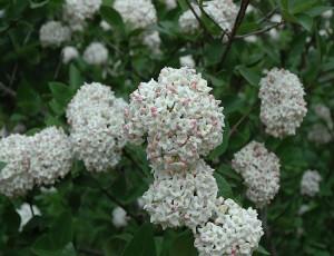 분꽃나무(유럽종)