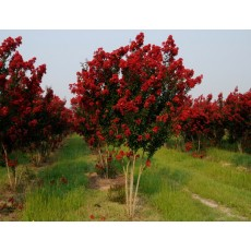 배롱나무(백일홍) 다이너마이트