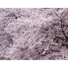 왕벚나무 / 접목1년