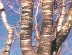 물푸레나무