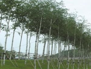 백자작나무